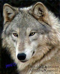 Mountain Wolf!