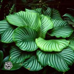 calathea obifolia - what a gorgeous plant!