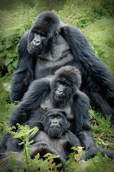 Gorilla Family. S)