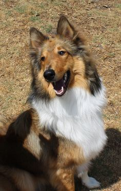 Gourgeous collie, my lovely Pepper