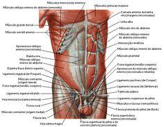 Abdome - Sistema Muscular - Sistemas - Aula de Anatomia