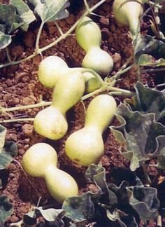 """Germ 7-10 days (LAGENARIA SICERARIA) A 7-8"""" tall miniature version of the birdhouse gourd. 25 seeds In Native American culture gourds were grown for eating and utensils. When cured, they were made int"""