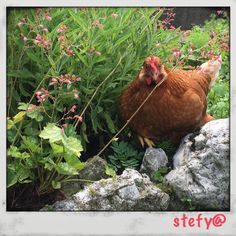 In esplorazione! Rooster, Animals, Animales, Animaux, Roosters, Animal, Animais, Dieren