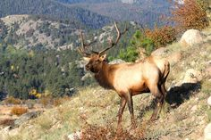 Taking the bull by the horns — Successfully hunting general area elk across the West