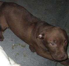 HERSHEY is an adorable 12-week old female chocolate lab mix puppy! Poor Hershey and her litter-mates (Snow Spots & Jeff) were turned into a kill facility in Oklahama that has no adoption program. These poor sweet pups had virtually no chance of surviving unless Lulu's and our sister rescue stepped in to save them! Hershey is up to date on age appropriate vaccines. Please visit our website WWW.LULUSRESCUE.COM and click on the ADOPT tab to apply!