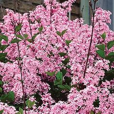 Josee Reblooming Lilac Hedge Product Information: Light: Full sun to partial shade Height: Deer Resistant Bloom Time: All summer Size: Potted Zones: 2 to 9 Planting Shrubs, Garden Shrubs, Lawn And Garden, Planting Flowers, Perenial Garden, Sun Garden, Garden Plants, Patio Trees, Trees And Shrubs
