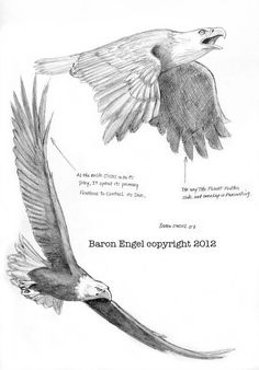 Bald Eagle study 01 by Baron-Engel on DeviantArt Bird Drawings, Animal Drawings, Drawings Of Eagles, Animal Sketches, Drawing Sketches, Eagle Sketch, Eagle Drawing, Eagle Art, Eagle Tattoos