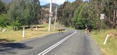 Aggressive emu chases cyclists near Australian river