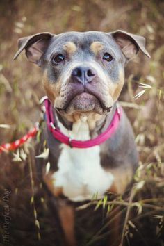 Meet Jasmine, a Petfinder adoptable Pit Bull Terrier Dog | Fremont, CA | Jasmine is a 1yo pit/boxer mix who is about 45lbs and was saved from a high kill shelter soon after...