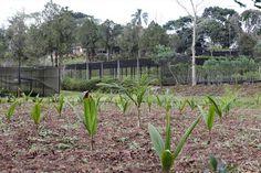 Mudas de palmeiras no Horto Municipal da Barreirinha. Foto:Luiz Costa/SMCS