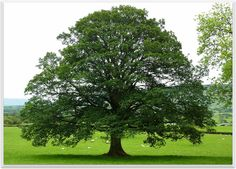 The oak is a common symbol of strength and endurance