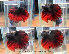 Black fire betta fish