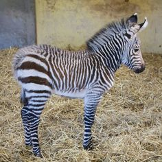 Ecstatic keepers at Blackpool Zoo have become the first UK team to successfully breed a Hartmann's Mountain Zebra in the last nine years. The foal, born in March, is also the first of its species to arrive in the whole of Europe in 2011, with just 12 born around the globe in 2010. Named Tebogo, a South African name which means 'we are thankful', by keepers, he takes the number of Hartmann's Mountain Zebras in captivity in the UK to 14.