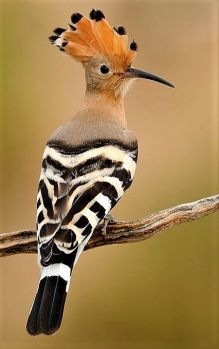 Solve Hoopoe jigsaw puzzle online with 24 pieces Rare Birds, Exotic Birds, Colorful Birds, Tropical Birds, Nature Animals, Animals And Pets, Cute Animals, Most Beautiful Birds, Pretty Birds
