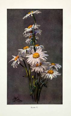 1927 Color Print John Littlejohns Daisies White Yellow Flowers Floral Botanical