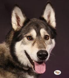 Saber Alaskan Malamute & Siberian Husky Mix • Adult • Female • Extra Large Fredericksburg Regional SPCA Fredericksburg, VA 6 yrs old  http://www.petfinder.com/petdetail/27589459/