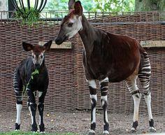 Okapi, Antwerpen IMG_1481 by j.a.kok, via Flickr
