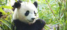 Dierentuin Ouwehands Dierenpark Rhenen is een dierentuin die zichzelf positioneert als dierenspeeltuin. Bezoek het berenbos, de Gorilla adventure, de giraffen, de olifanten en oerang oetans. En…, het dierenpark heeft een primeur; binnenkort komen er 2 reuzenpanda's naar Nederland. De twee reuzenberen met zwart-witte vacht en donkere ringen rond zijn ogen zijn beschermde dieren. Het zijn …