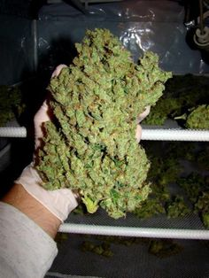 LEGIT ONLINE DISPENSARY CALL 707 335 4526 PLACE AND ORDER AT http://www.marijuanaplug.com