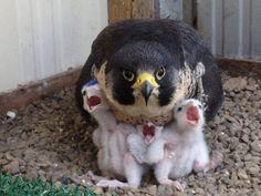 Falcon family portrait. ~Patty