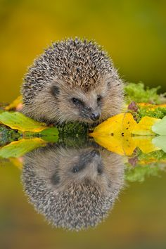 Lovely garden dweller - do you get hedgehogs in your garden? #homesfornature