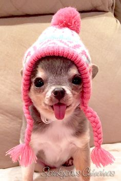 OMG...Skye, are you just you cutest thing ever??? YESSSS!!!!! Spunky Lil Clear Blue Skye - Spunkypaws Chihuahuas www.facebook.com/spunkypaws #dogsfunnycutest #chihuahua #cutedogs