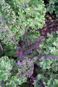 Information on growing Kale