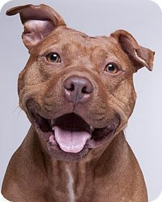 Chicago IL - American Pit Bull Terrier/American Staffordshire Terrier Mix. Meet Gusto a dog for adoption. #PitBullPics