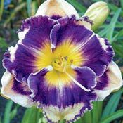 Answering Angels Reblooming Daylily                                                                                                                                                                                 More