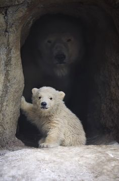 .Really cute polar bear cub.  But notice in the shadows behind him, a huge Mama polar bear watches.