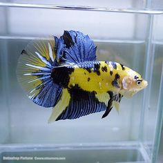 Yellow Blue Bicolor Plakat Betta