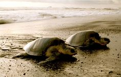 Volunteers Needed for Sea Turtle Conservation in Costa Rica's Caribbean Coast