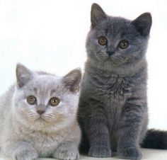 Le British Shorthair est un chat de race d'origine britannique                                                                                                                                                                                 Plus