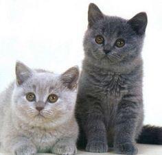 Le British Shorthair est un chat de race d'origine britannique