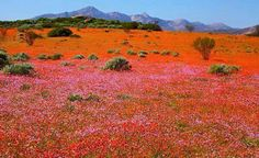Namaqualand daisies in South Africa Desert Flowers, Wild Flowers, Beautiful World, Beautiful Places, Beautiful Scenery, Wonderful Places, Amazing Places, Beautiful Gardens, South Afrika