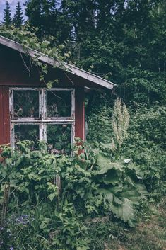 Our Food Stories // rhubarb season in Sweden. Love this little wooden garden cabin.