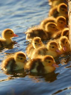 Lots of baby ducks. look see how cute these ducklings are Vylette . All Gods Creatures, Cute Creatures, Beautiful Creatures, Baby Animals, Funny Animals, Cute Animals, Wild Animals, Beautiful Birds, Animals Beautiful