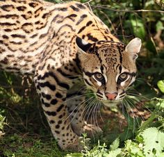 Ocelot - Wild Cat - Online magazine about Travel, Art, Animals and Girls - Remliel Small Wild Cats, Small Cat, Big Cats, Beautiful Cats, Animals Beautiful, Cute Animals, Wild Animals, Ocelot, Big Cat Species