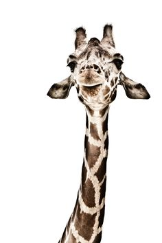Saw giraffes at the Zoo. Cutest animals there.