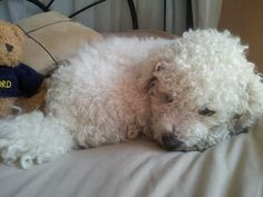 Curled up bichon frise