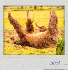 #Sloth. #PolaroidFx #Polaroid #Frame #Instant #Sloths #Animal #Animals #Wild #Nature #Mammals #Water #Swim #AnimalLovers