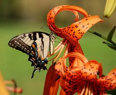 Tiger Lily's | TIGER LILIES