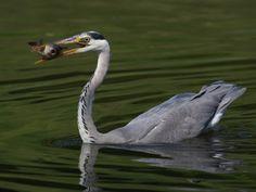 Fischreiher Heute gibt's Karpfen©Klaus_1