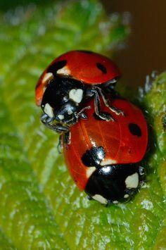 Mating  ladybug soup mmm good
