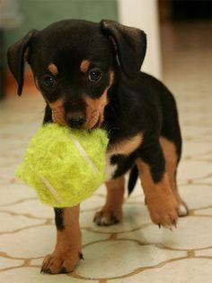 chiweenie puppy