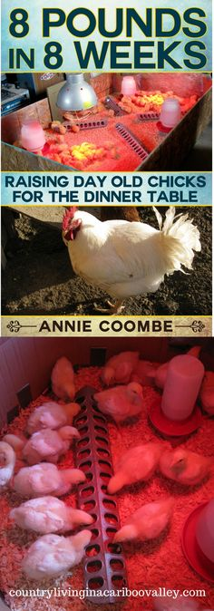 All you need to know to raise 8 pound meat birds. Raise your own day old chicks.