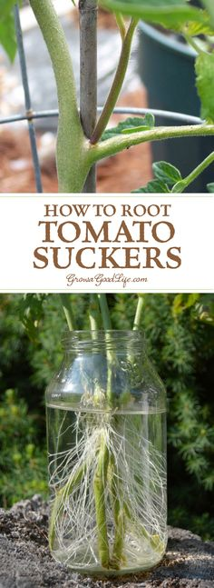 Did you know you can root tomato suckers for a second crop of fresh and healthy plants? Cloning tomato plants from stems is faster than starting from seed. (fertilizer for plants health) Growing Tomatoes From Seed, Growing Tomato Plants, Growing Tomatoes In Containers, Growing Vegetables, Grow Tomatoes, Tomato Seedlings, Gardening For Beginners, Gardening Tips, Container Gardening