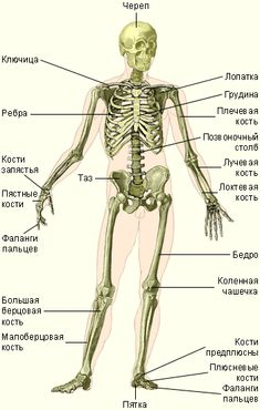yuzanhoo - 0 results for science Anatomy Study, Body Anatomy, Anatomy Drawing, Human Body Systems, Medical Anatomy, Human Anatomy And Physiology, Medical Students, Drawing Tips, Art Reference