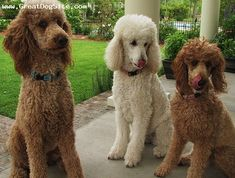 A photo of a 1 year old, Brown and White, Standard Poodle - my friends poodles | GreatDogSite.com