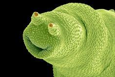 Bdelloidea are micro